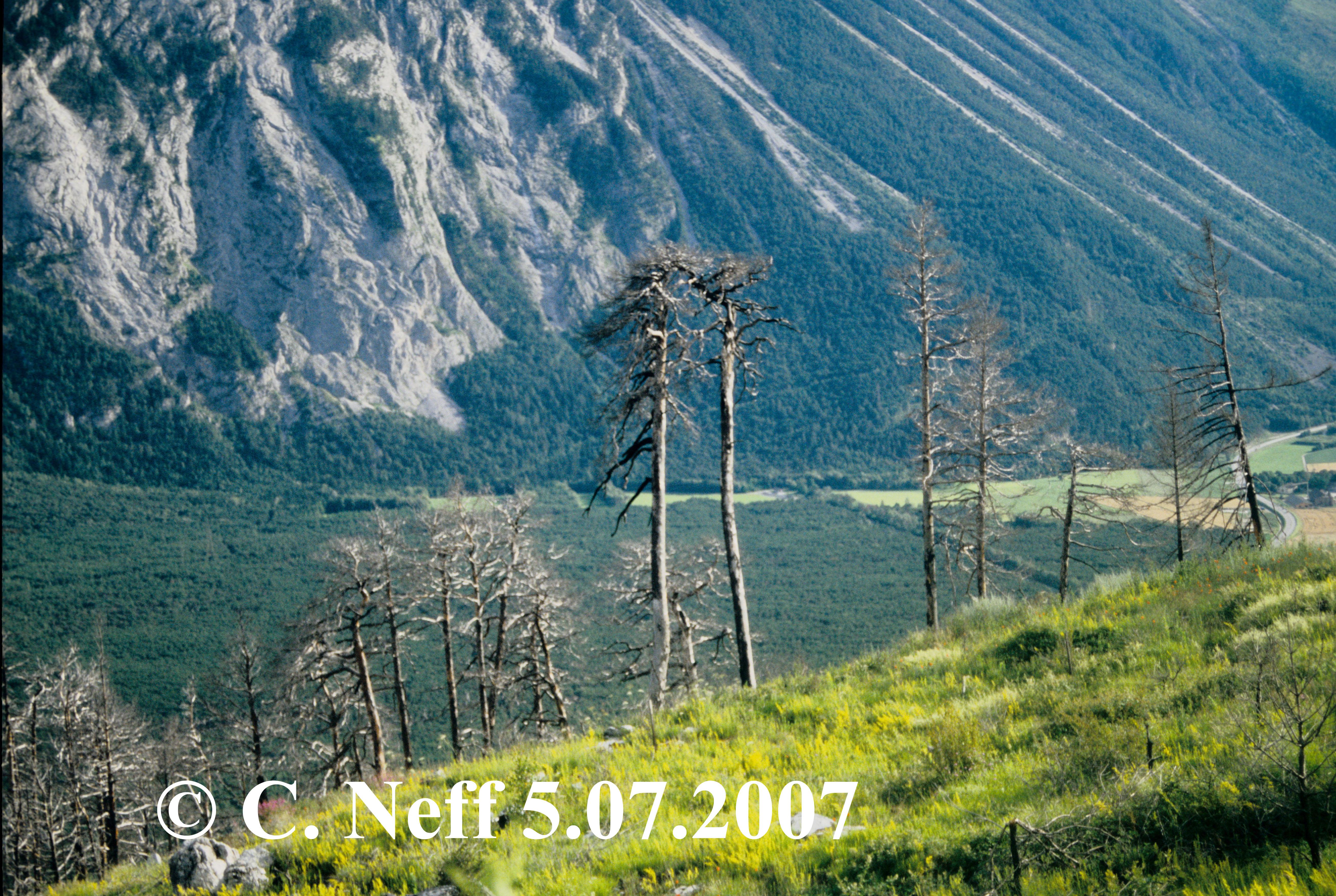 W.B.F Leuk - Albinen Höhe 1213 Blick auf tote Kiefernreste 5.7.2