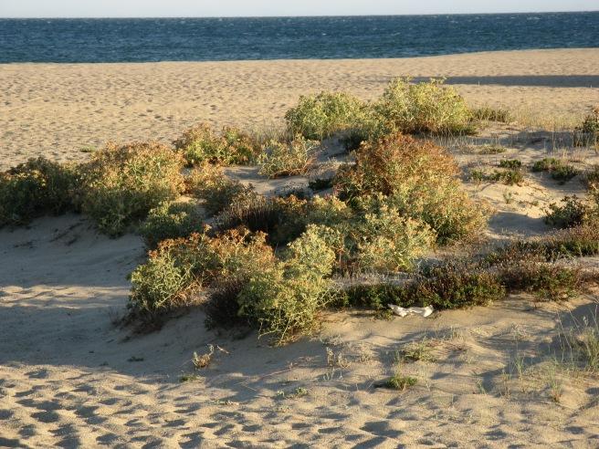 strandvegetation-port-leucate-echinophora-spinosa-12102009.1255501701.jpg