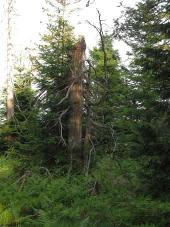im Nationalpark Schwarzwald Juni 2014-1