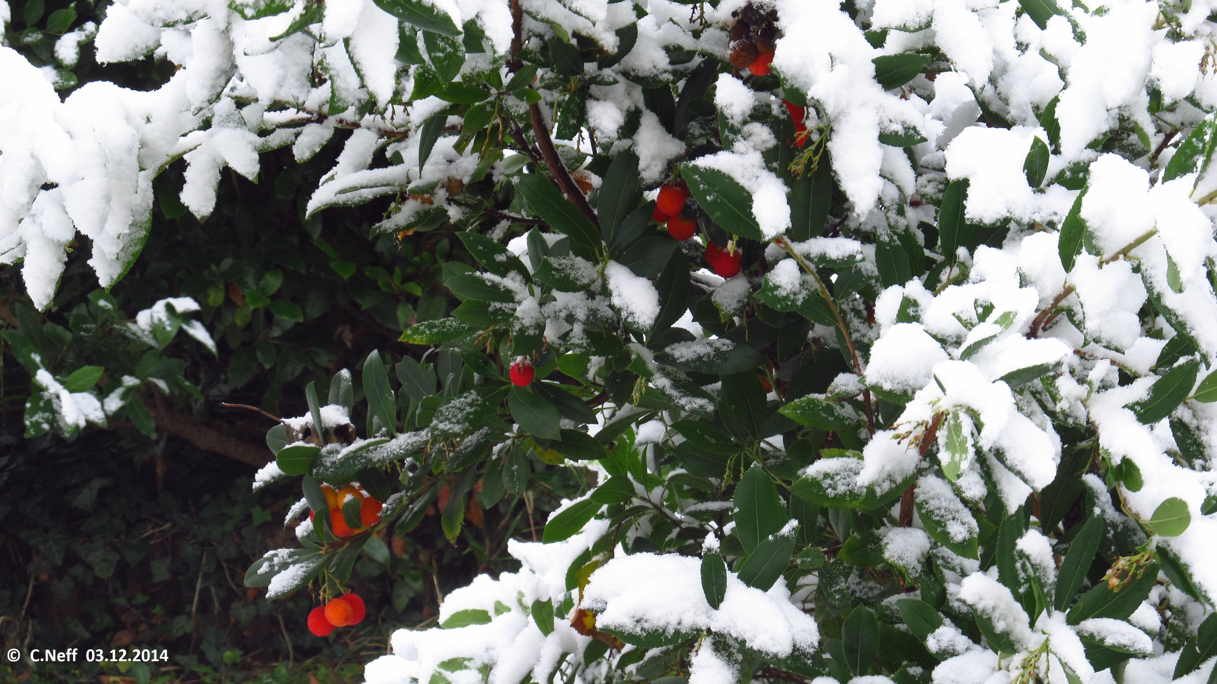 Arbousier et neiges de decembre, Grünstadt 03.12.2014