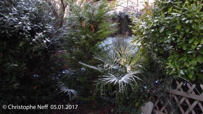De la pourdreuse sur Trachycarpus fortunei (05.01.2017)