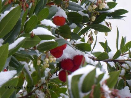 Neiges sur fleurs et fruits d'Arbousier Grünstadt WR 16.12.2018