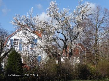 Mandelblüte (Grünstadt, Sausenheimerstr.), 10.03.2019