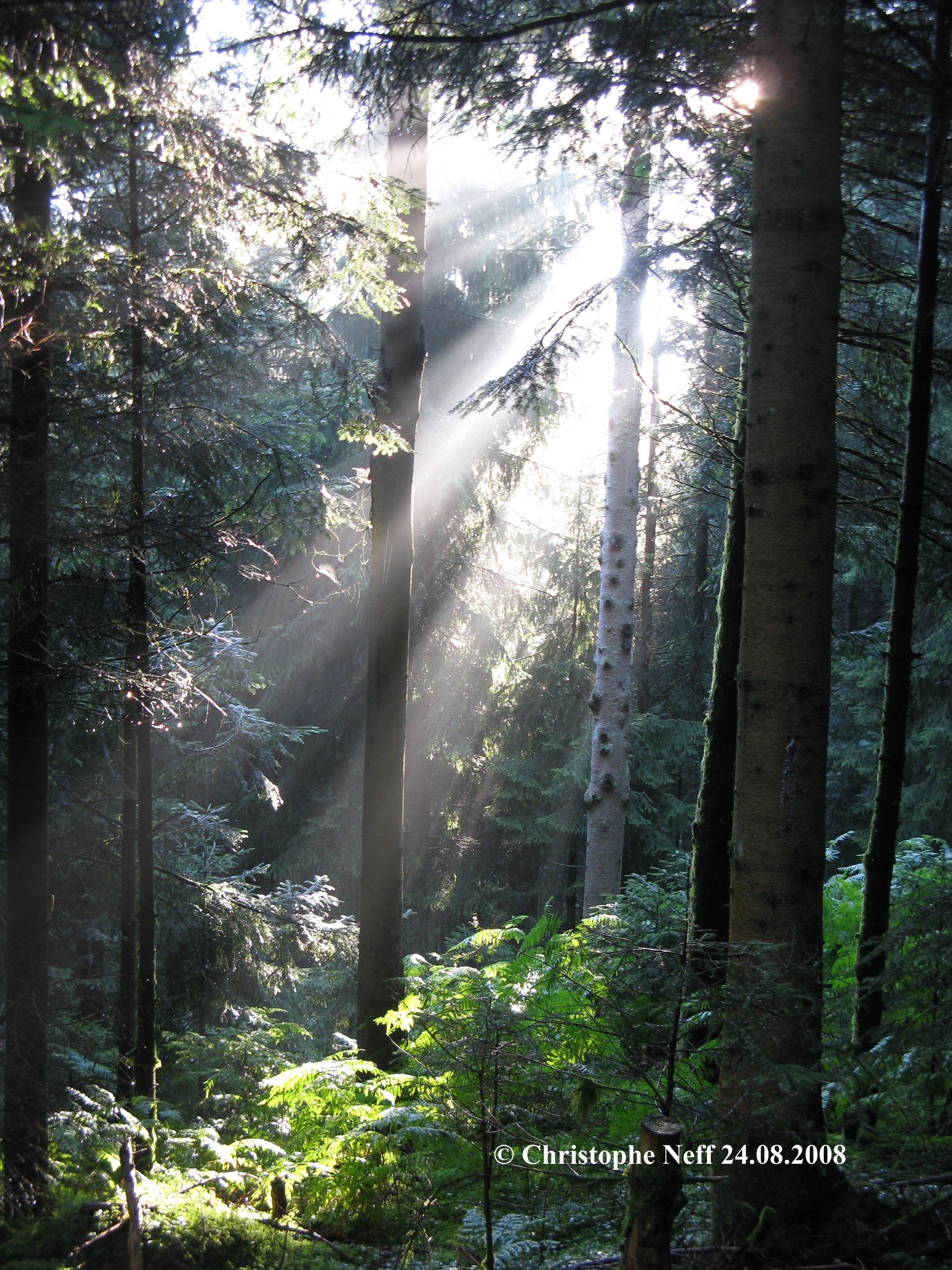 Les reflets de lumières à travers la sapinière du Mooswaldkopf 24.08.2008