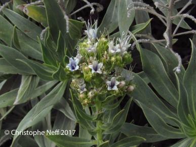 Inflorescence d' Echium vulcanorum (8.11.2017)