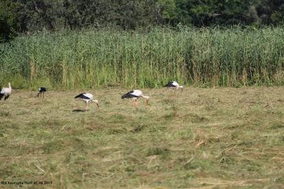 Cigognes - Grosswoerth Delta de la Sauer 02.08.2015 B1