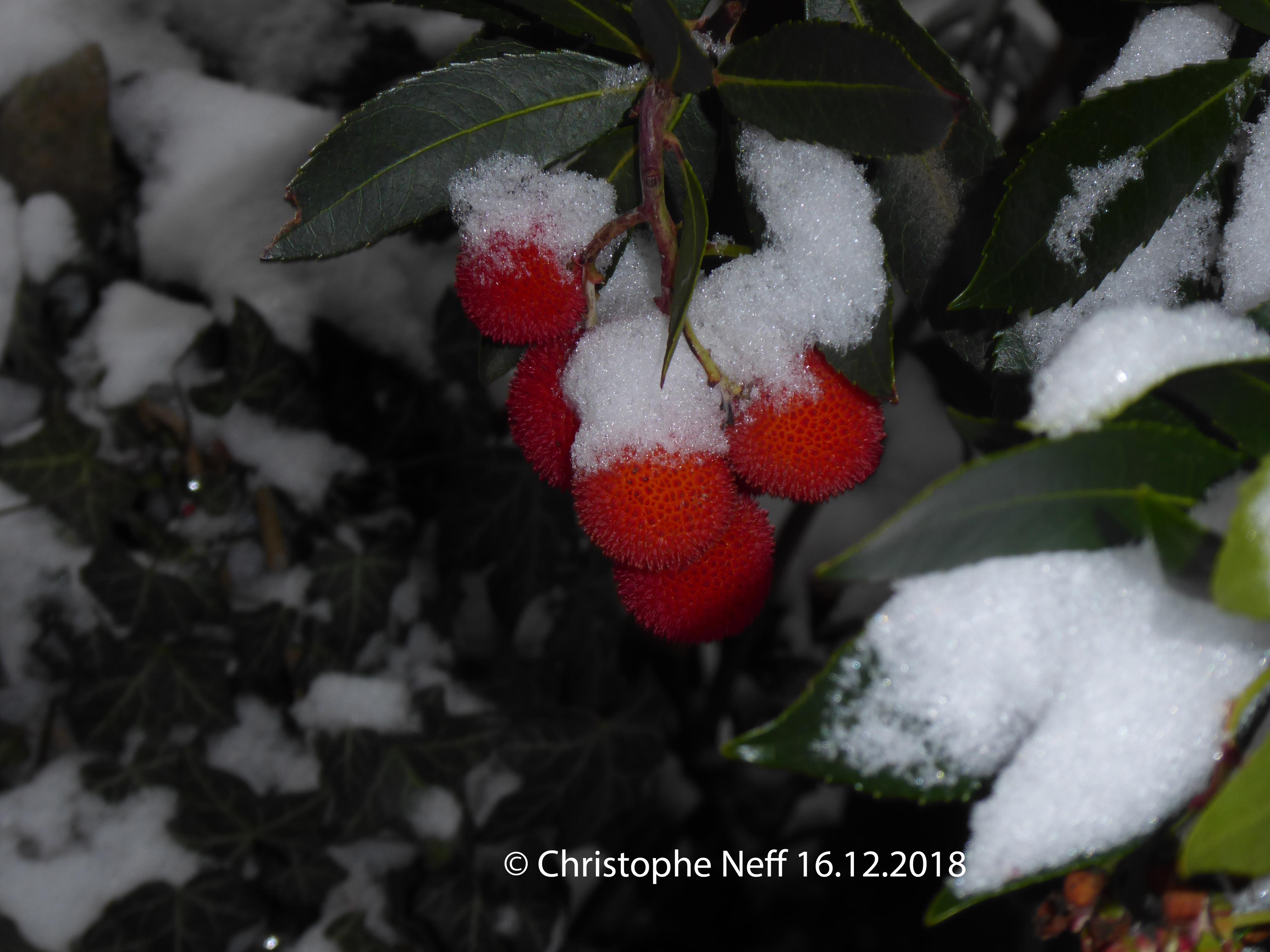 Neiges sur fruits d'Arbousier Grünstadt WR 16.12.2018