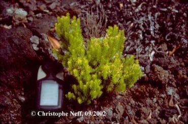 Vulkan Sukz. Erica azorica Capelo September 2002