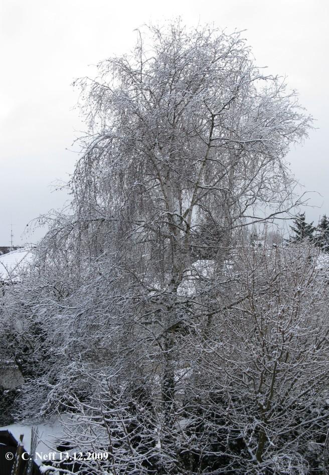 le grand bouleau im Winterkleid