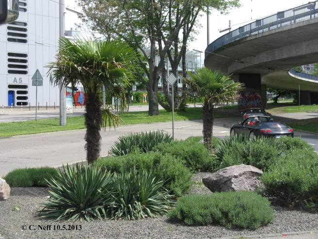 Mannheim A5, Trachycarpus fortunei A