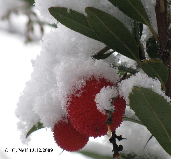 neige et fruits d' Arbousier 13.12.2009