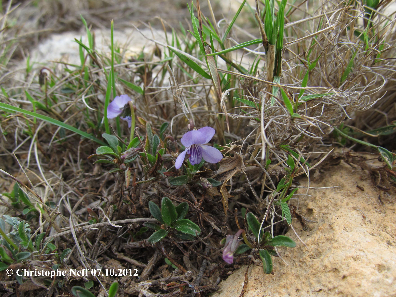 Viola arborescens B.1 Cap Leucate 07.10.2012