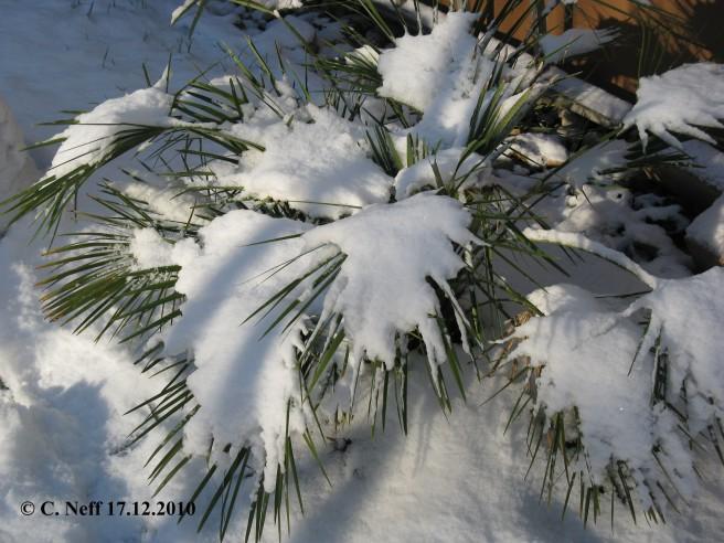 Chamaerops humilis couvert de neige Grünstadt 17.12.2010