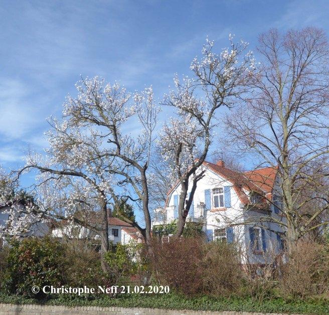 Mandelbaumblüte Grünstadt, Sausenheimstrasse 21.02.2020