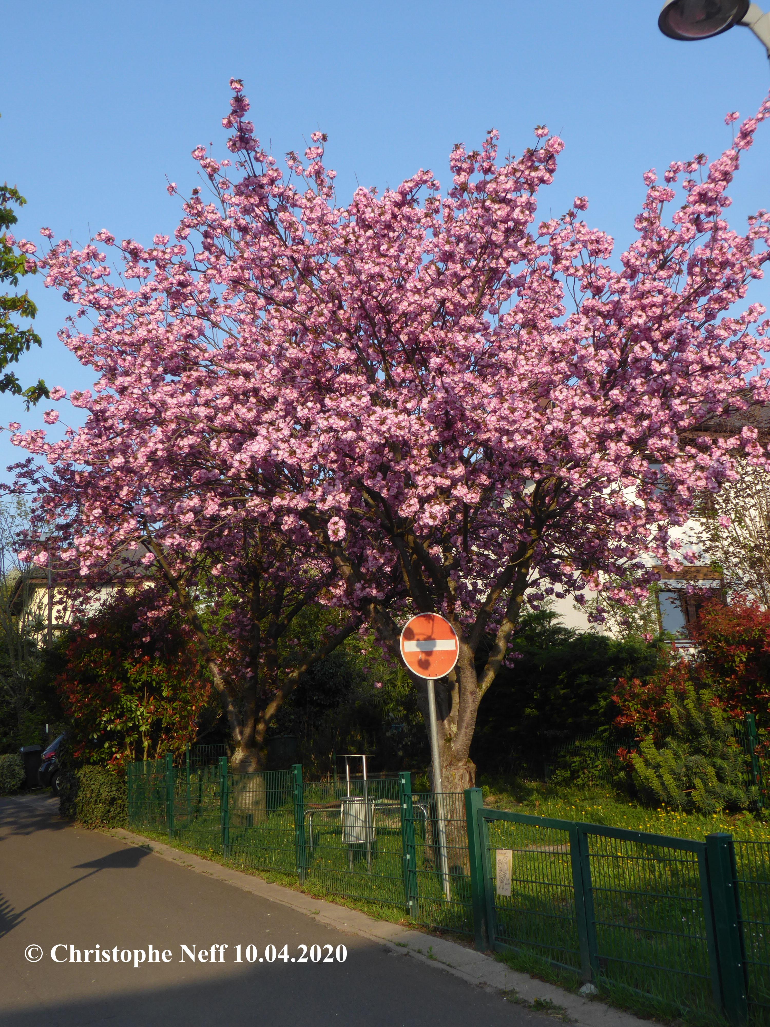 Prunus serrulata Büte Grünstadt Westring 10.04.2020
