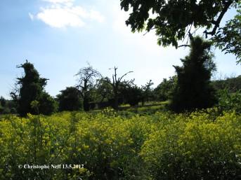 paysage de Bunias d'orient dans le Linage entre Sausenheim et Ne