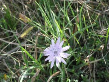 Scorzonera purpurea auf dem Grünstadter Berg 13.5.2011